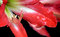 Free Easter Lilium Red Flower Stock Photo - 30923190