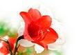 Free Amaryllis Red Flower Stock Image - 30935391