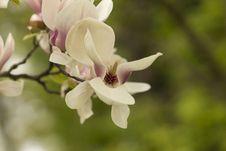 Free Beautiful White Magnolia Flower Royalty Free Stock Image - 30933486