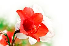 Amaryllis Red Flower Stock Image