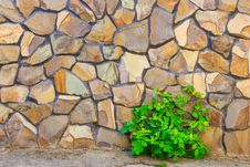 Free Celandine Plant And Stone Wall Royalty Free Stock Image - 30936456
