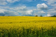 Canola Field Stock Photography