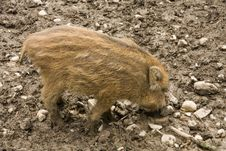 Free Piglet Royalty Free Stock Image - 30939416