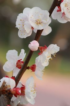 Free Spring Blossom Royalty Free Stock Images - 30939419