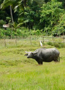 Bird On Buffalo In Rice Field At Phuket Island, Thailand Stock Image