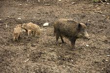 Free Wild Boar Stock Photos - 30939553