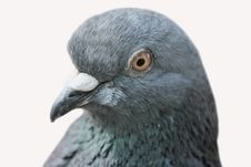 Pigeon &x28;Columba Livia&x29; Royalty Free Stock Photography