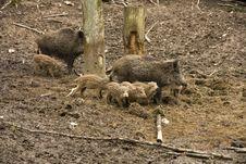 Free Wild Boar Royalty Free Stock Photos - 30939638