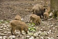 Free Wild Boar Stock Photo - 30939680