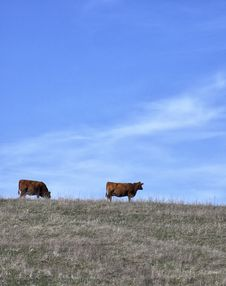Organic Red Angus Cows Stock Images