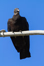 Free Black Vulture On A Lamppost Royalty Free Stock Photo - 30940865