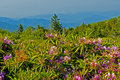 Free Open Fields And Blooming Rhododendron. Stock Photos - 30942793