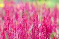 Free Celosia Argentea Red With Background Royalty Free Stock Photo - 30948135