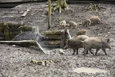 Free Wild Boar Stock Photos - 30940053