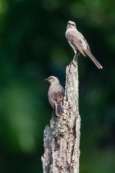 Free Two Tropical Mockingbirds On The Look-out Stock Photo - 30940830