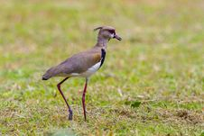 Free Southern Lapwing On A Stroll Stock Photo - 30940840