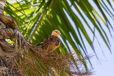 Free Yellow Headed Caracara In Palm Tree Royalty Free Stock Image - 30940906