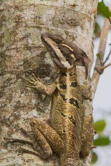 Free Basilisk Lizard Stock Photos - 30940913