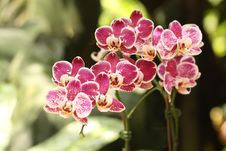 Free Orchid Stock Images - 30941564