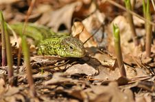 Free Green Lizard &x28;Lacerta Viridis&x29;. Royalty Free Stock Photo - 30944685