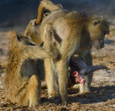 Baboon Family Interaction Royalty Free Stock Photography