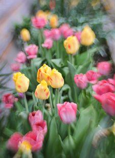 Lensbaby Spring Tulips Stock Photo