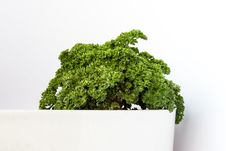 Garden Parsley Royalty Free Stock Images