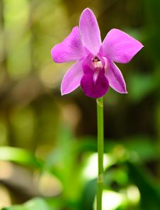 Free Violet Orchid Flower Alone, Compactum Hybride Pink Stock Images - 30949374