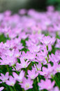 Free Rain Lily &x28;Fairy Lily, Zephyranthes Rosea&x29; Blooming In Garden, P Stock Photos - 30950783