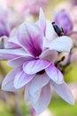 Free Magnolia X Soulangeana Blossoms Stock Image - 30953011