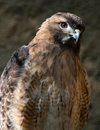 Free Hawk Stock Images - 30953404