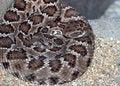 Free Rattlesnake Stock Image - 30953471