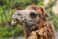 Free Camel Stock Images - 30958224