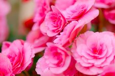 Free Begonia Flower In Garden Royalty Free Stock Images - 30950649