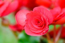 Free Close Up Begonia Flower Stock Image - 30950681