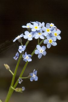 Free Asiatic Forget-Me-Not Stock Photos - 30952193
