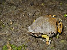 Free Variolosus Sheepfrog Stock Photo - 30953380