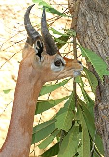 Free Gerenuk Royalty Free Stock Images - 30953789