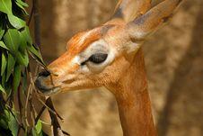 Free Gerenuk Stock Image - 30953921