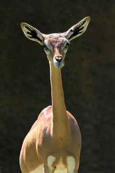 Free Gerenuk Royalty Free Stock Image - 30954276