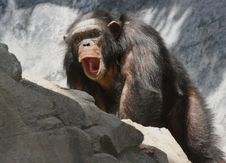 Free Chimpanzee Stock Photos - 30954333