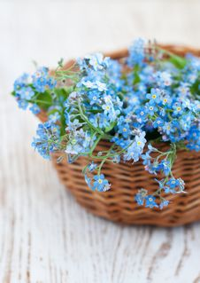 Free Bunch Of Forget-me-nots Flowers Royalty Free Stock Photos - 30955228