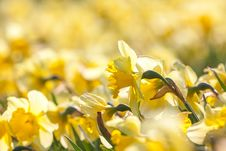 Free Narcissis Stock Photos - 30955263