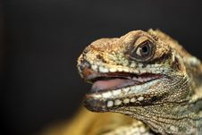 Free Portrait Of A Lizard Royalty Free Stock Image - 30957886