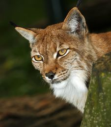Free Portrait Of A Lynx Royalty Free Stock Photo - 30958155