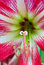 Free Easter Lilium Red Flower Royalty Free Stock Images - 30956519