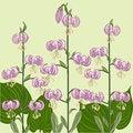 Free Pink Lilium Martagon Flowers Stock Image - 30965111