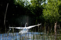 Free Swan With Spread Wings Trying To Take Off Royalty Free Stock Photos - 30969028