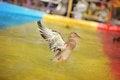 Free Wild Ducks Stock Image - 30969871