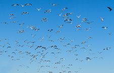 Free Seagull Stock Image - 30960211